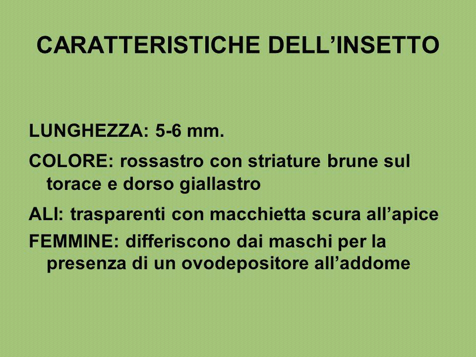 CARATTERISTICHE DELL'INSETTO LUNGHEZZA: 5-6 mm. COLORE: rossastro con striature brune sul torace e dorso giallastro ALI: trasparenti con macchietta sc