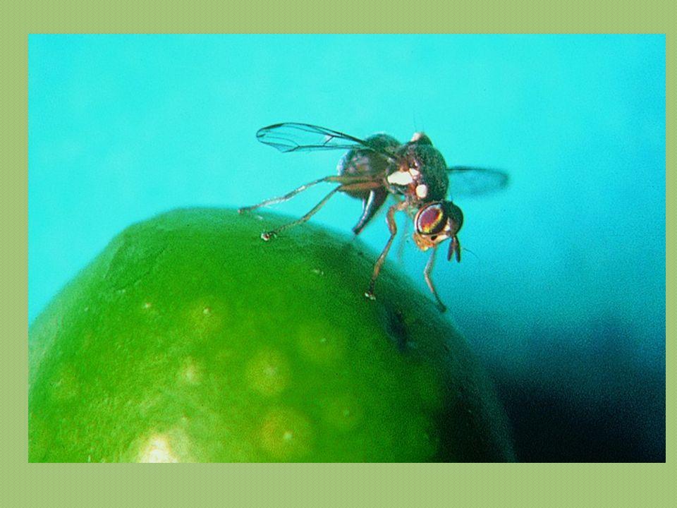 ENTITA' DEL DANNO Terza ovodeposizione: fine settembre Dalle 80.000 larve nascono 40.000 maschi e 40.000 femmine 40.000 mosche x 400 uova = 16.000.000 di olive 16.000.000 olive x 3 grammi = 48.000.000 gr = 48.000 kg = 480 q.li
