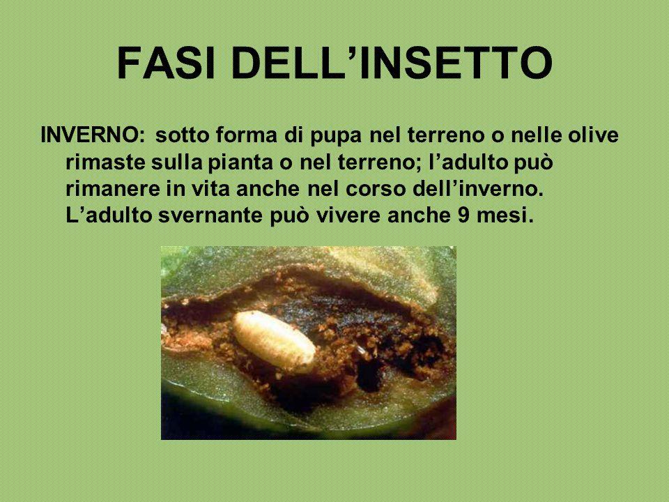 FASI DELL'INSETTO INVERNO: sotto forma di pupa nel terreno o nelle olive rimaste sulla pianta o nel terreno; l'adulto può rimanere in vita anche nel c