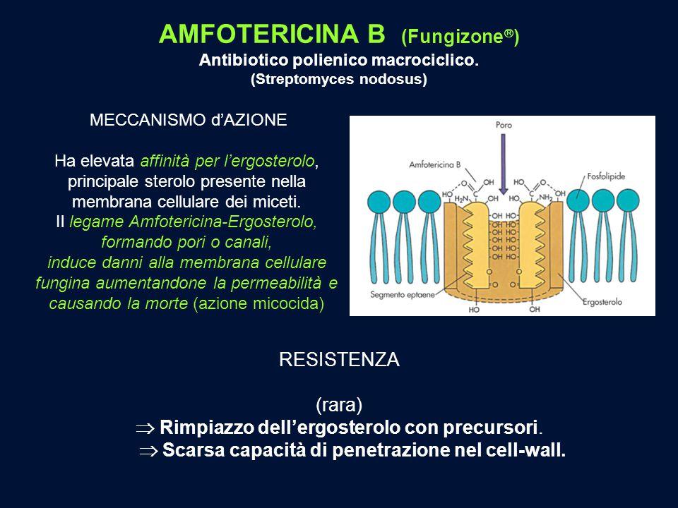 MECCANISMO d'AZIONE Ha elevata affinità per l'ergosterolo, principale sterolo presente nella membrana cellulare dei miceti. Il legame Amfotericina-Erg