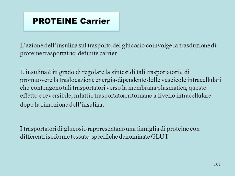 101 L'azione dell'insulina sul trasporto del glucosio coinvolge la trasduzione di proteine trasportatrici definite carrier I trasportatori di glucosio