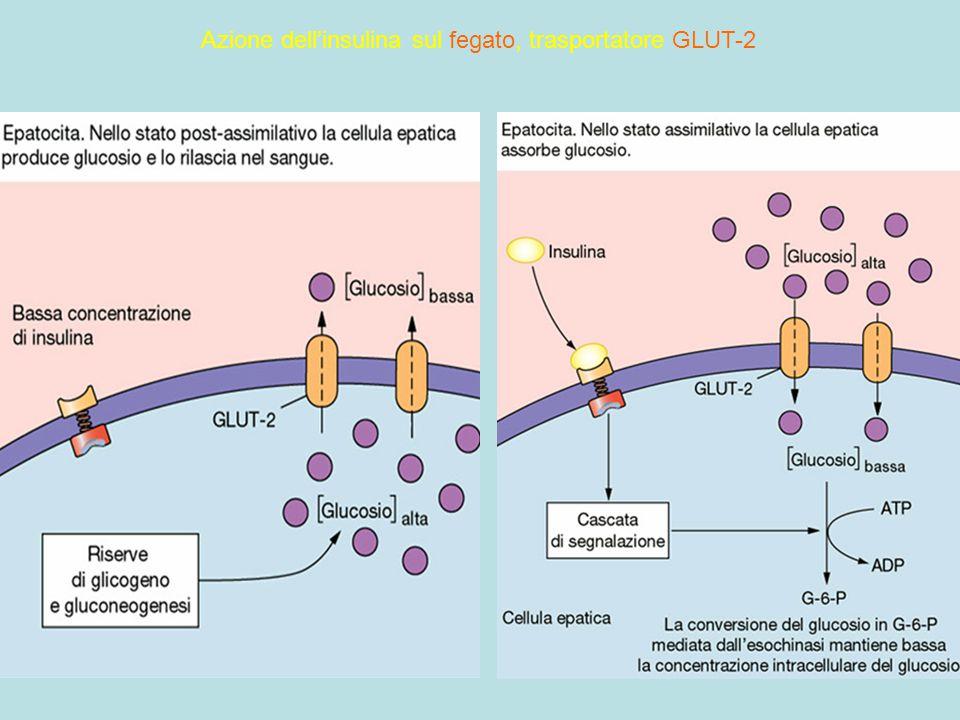 109 Azione dell'insulina sul fegato, trasportatore GLUT-2