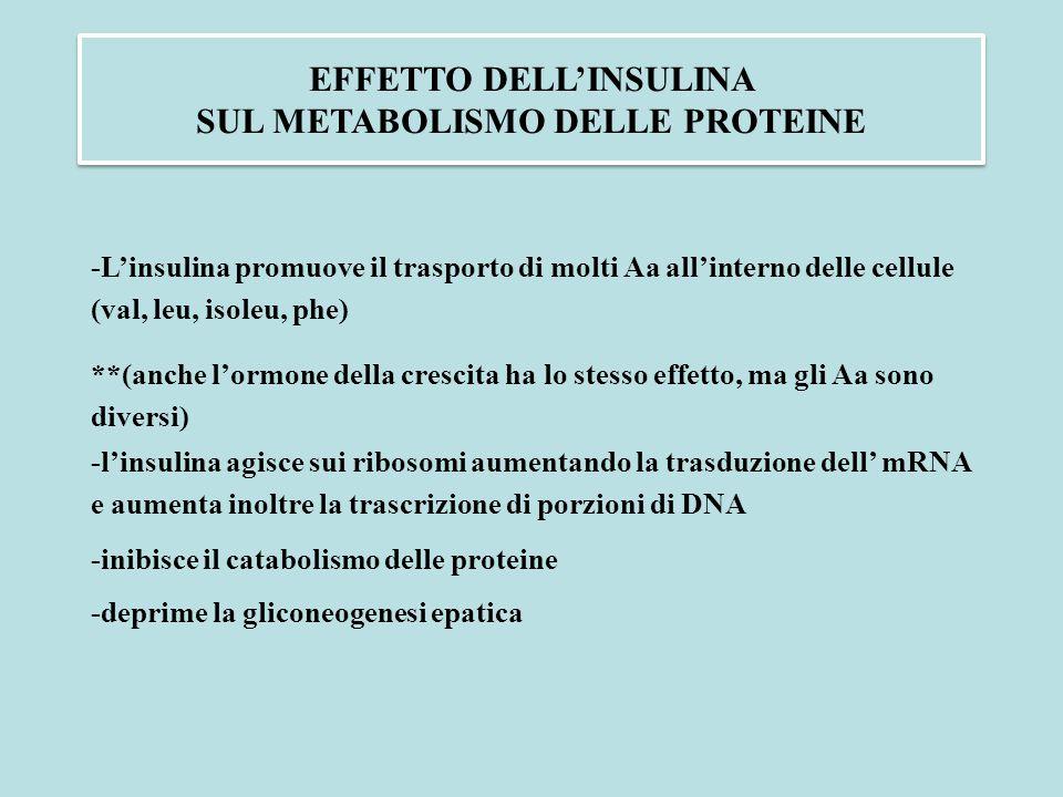 EFFETTO DELL'INSULINA SUL METABOLISMO DELLE PROTEINE -L'insulina promuove il trasporto di molti Aa all'interno delle cellule (val, leu, isoleu, phe) *