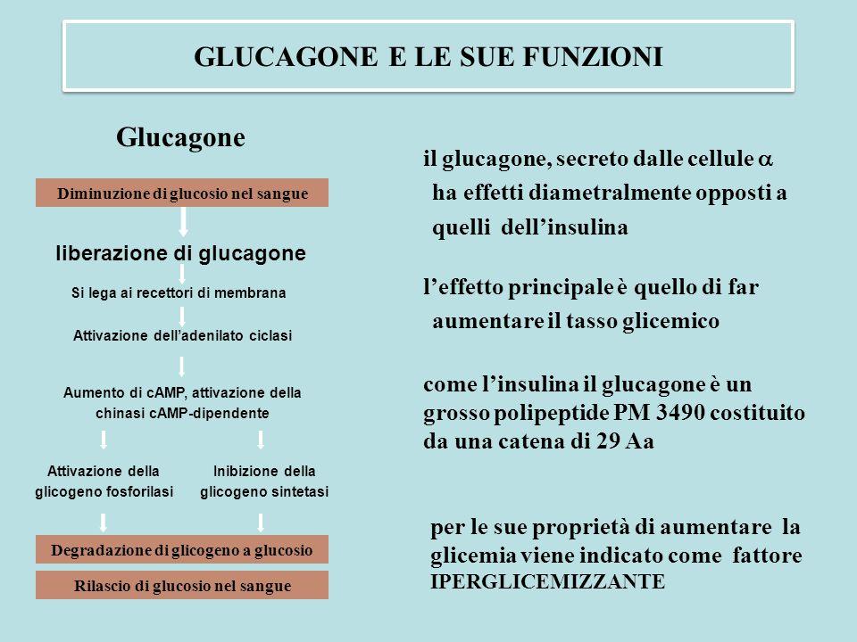 come l'insulina il glucagone è un grosso polipeptide PM 3490 costituito da una catena di 29 Aa Diminuzione di glucosio nel sangue liberazione di gluca
