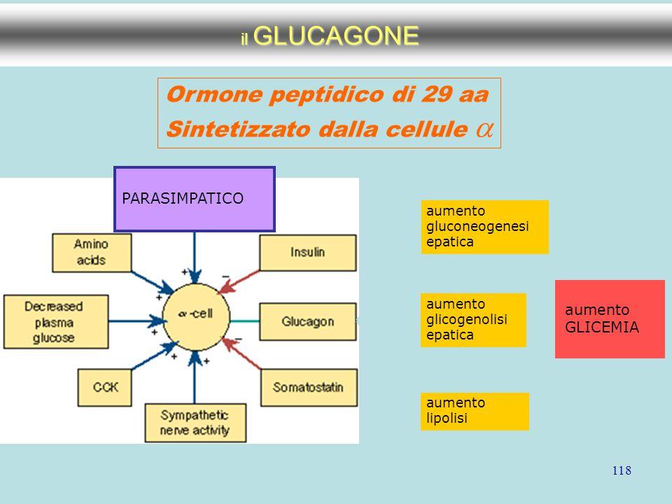 118 il GLUCAGONE Ormone peptidico di 29 aa Sintetizzato dalla cellule  PARASIMPATICO aumento gluconeogenesi epatica aumento glicogenolisi epatica aum