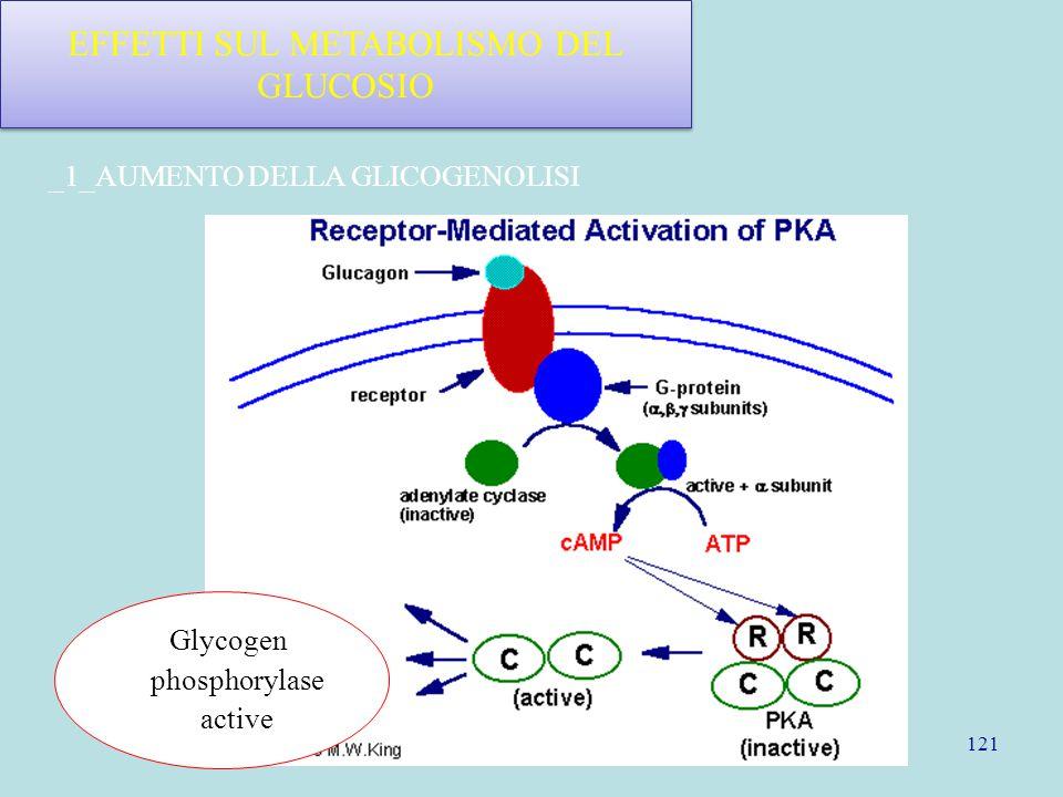 121 EFFETTI SUL METABOLISMO DEL GLUCOSIO Glycogen phosphorylase active _1_AUMENTO DELLA GLICOGENOLISI