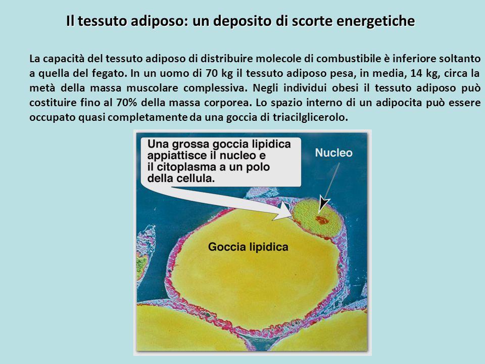 Il tessuto adiposo: un deposito di scorte energetiche La capacità del tessuto adiposo di distribuire molecole di combustibile è inferiore soltanto a q