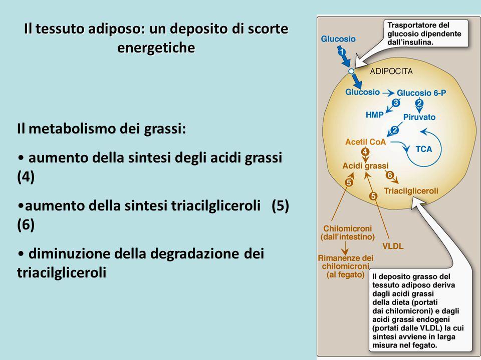 Il tessuto adiposo: un deposito di scorte energetiche Il metabolismo dei grassi: aumento della sintesi degli acidi grassi (4) aumento della sintesi tr