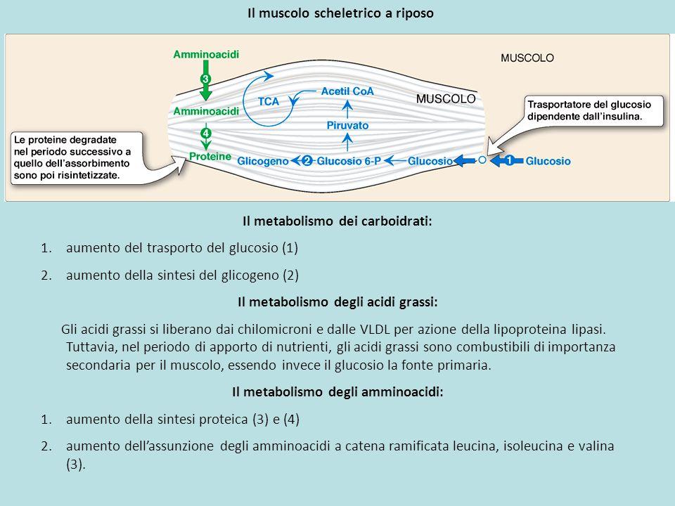 Il muscolo scheletrico a riposo Il metabolismo dei carboidrati: 1.aumento del trasporto del glucosio (1) 2.aumento della sintesi del glicogeno (2) Il