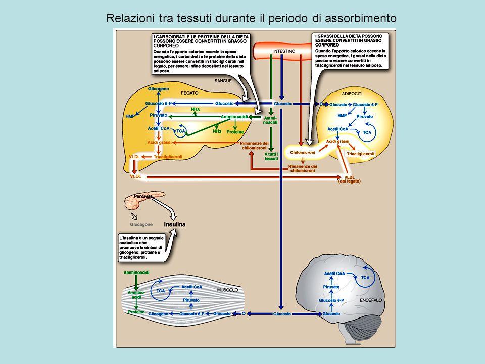 Relazioni tra tessuti durante il periodo di assorbimento