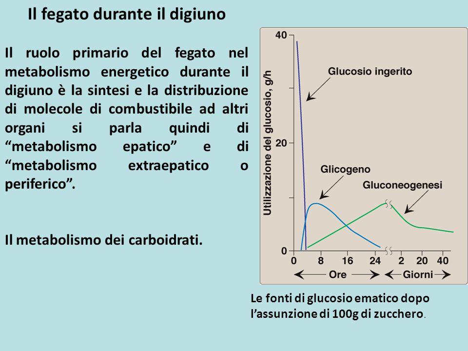 Il fegato durante il digiuno Il ruolo primario del fegato nel metabolismo energetico durante il digiuno è la sintesi e la distribuzione di molecole di