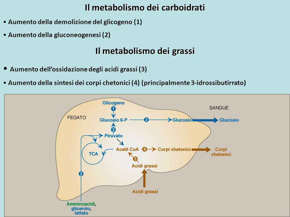 Il metabolismo dei carboidrati Aumento della demolizione del glicogeno (1) Aumento della gluconeogenesi (2) Il metabolismo dei grassi Aumento dell'oss