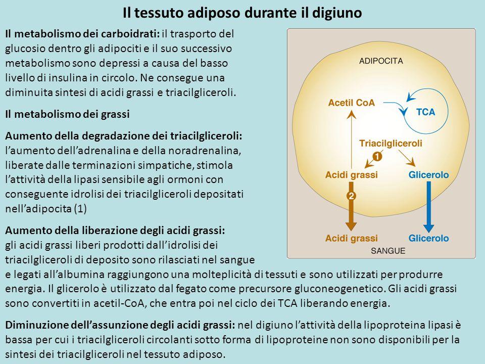 Il metabolismo dei carboidrati: il trasporto del glucosio dentro gli adipociti e il suo successivo metabolismo sono depressi a causa del basso livello