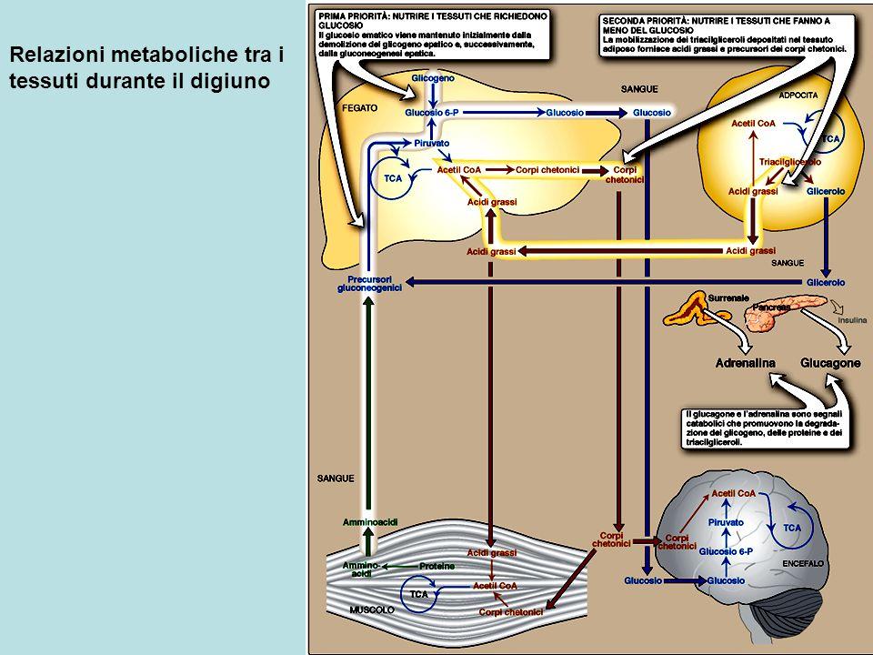 Relazioni metaboliche tra i tessuti durante il digiuno