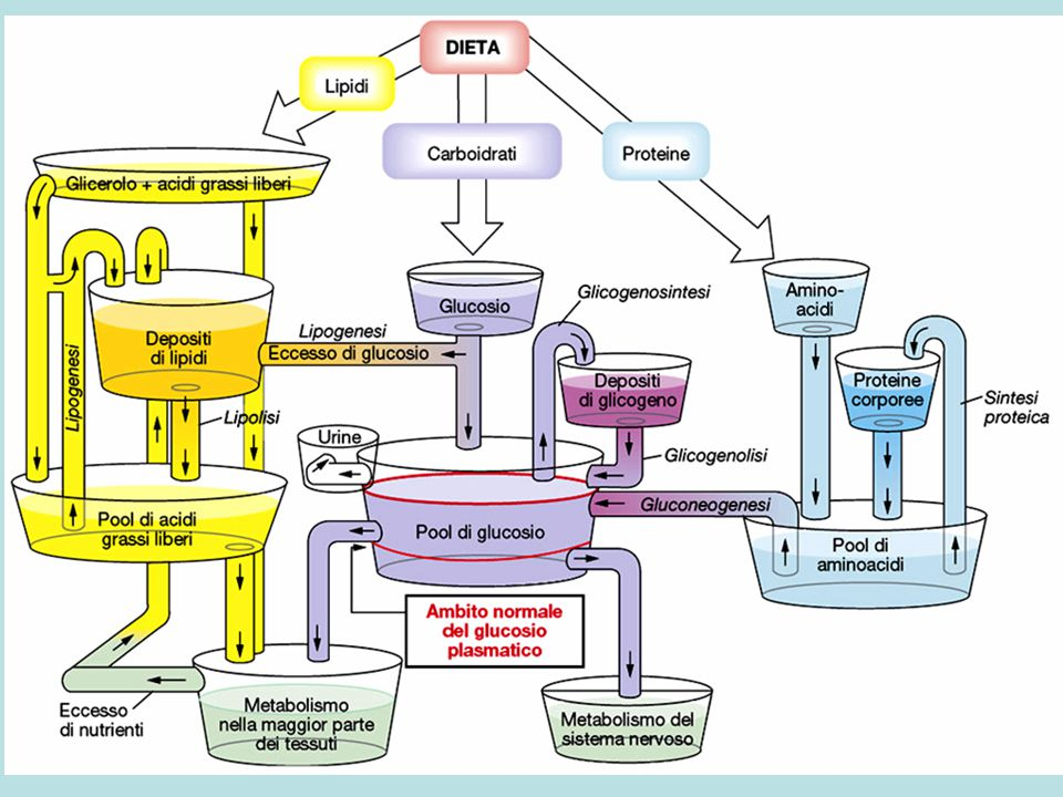 Pool di aminoacidi Proteine del corpo DIETA grassi carboidratiaminoacidi gliceroloacidi grassi liberi Pool di acidi grassi liberi Depositi di grassi +GH +Adrenal +Glucag -Ins +Ins -Cort Metabolismo della maggior parte dei tessutiMetabolismo del cervello glucosio Pool di glucosio Depositi di glicogeno +GH +Adren +Gluca +Cort +T3 +GH +Gluca +Cort -Ins +Ins -GH +Ins +GH +Test -Cort +Cort +Gluca