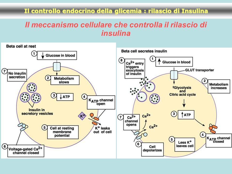 Il meccanismo cellulare che controlla il rilascio di insulina Il controllo endocrino della glicemia : rilascio di Insulina