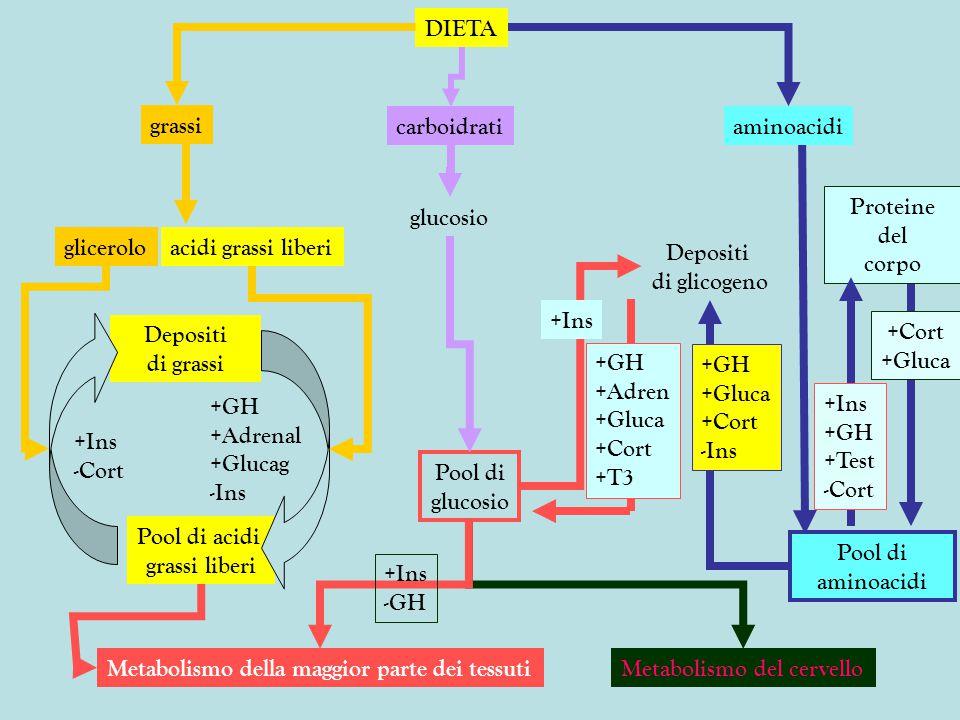 Depositi di grasso Glicogeno muscolare e proteine FEGATO gluconeogenesi Sintesi di glicogeno glicogenolisi insulina metabolismo del cervello Acidi grassi liberi e glicerolo nel sangue GH glucagone adrenalina glucagone adrenalina Carboidrati della dieta Glucosio nel sangue aminoacidi nel sangue insulina cortisolo