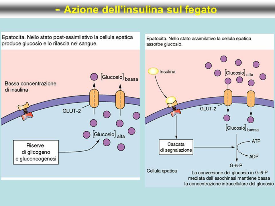 - - Azione dell'insulina sul fegato