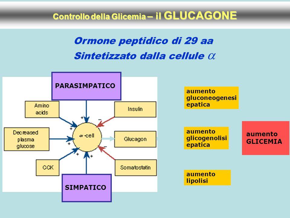 Controllo della Glicemia – il GLUCAGONE Ormone peptidico di 29 aa Sintetizzato dalla cellule  PARASIMPATICO SIMPATICO aumento gluconeogenesi epatica