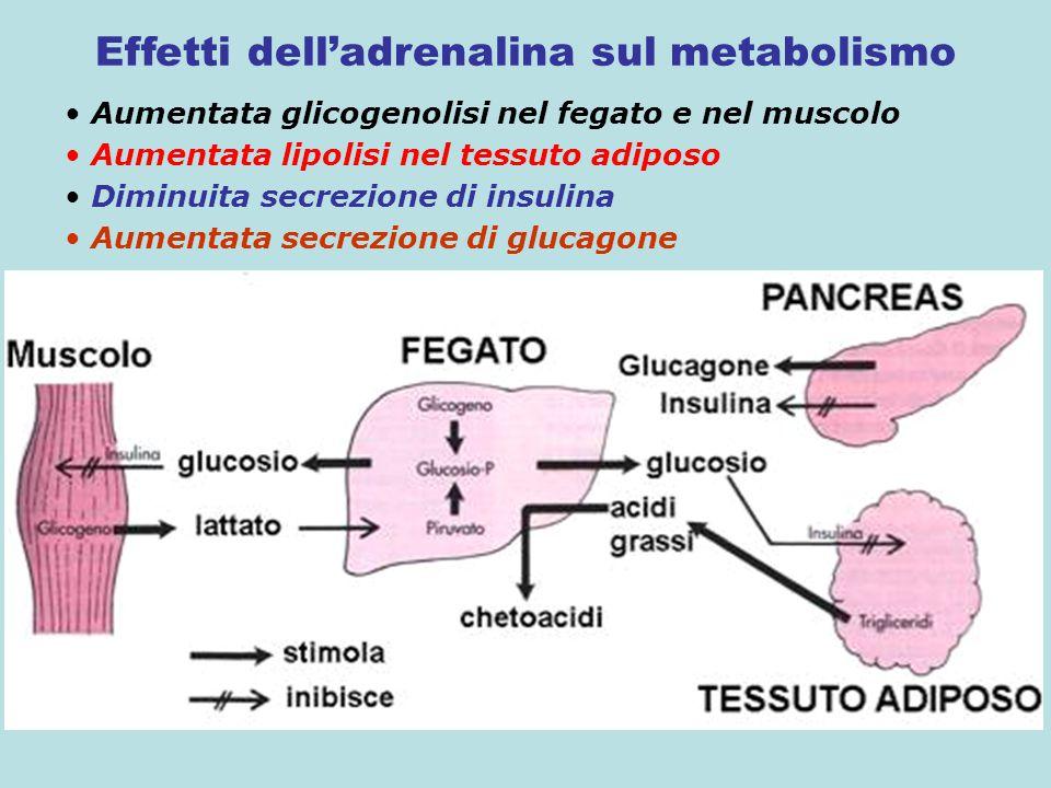 Effetti dell'adrenalina sul metabolismo Aumentata glicogenolisi nel fegato e nel muscolo Aumentata lipolisi nel tessuto adiposo Diminuita secrezione d