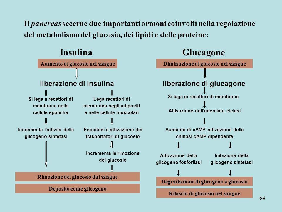 64 Il pancreas secerne due importanti ormoni coinvolti nella regolazione del metabolismo del glucosio, dei lipidi e delle proteine: InsulinaGlucagone