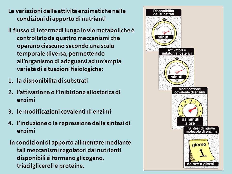 A.Gli effetti allosterici B.La regolazione degli enzimi mediante la modifica covalente C.L'induzione e repressione della sintesi degli enzimi Le variazioni delle attività enzimatiche nelle condizioni di apporto di nutrienti legenda intermedi del metabolismo dei carboidrati intermedi del metabolismo dei lipidi