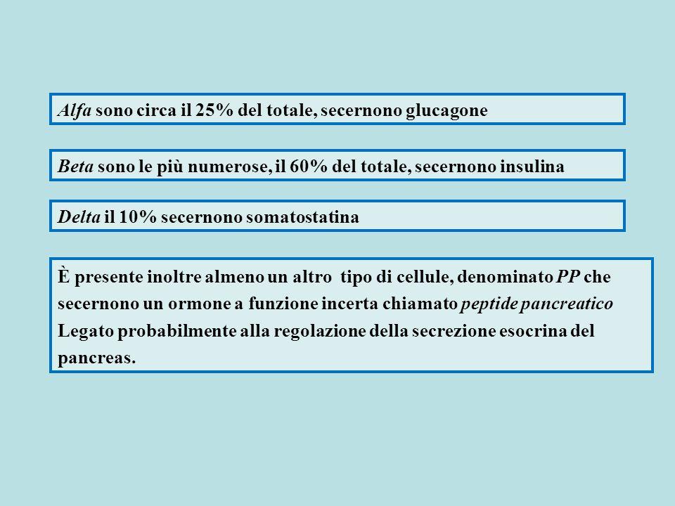 Alfa sono circa il 25% del totale, secernono glucagone Beta sono le più numerose, il 60% del totale, secernono insulina Delta il 10% secernono somatos