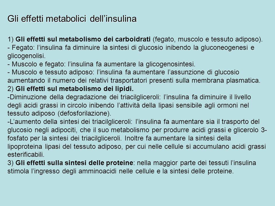 Gli effetti metabolici dell'insulina 1) Gli effetti sul metabolismo dei carboidrati (fegato, muscolo e tessuto adiposo). - Fegato: l'insulina fa dimin