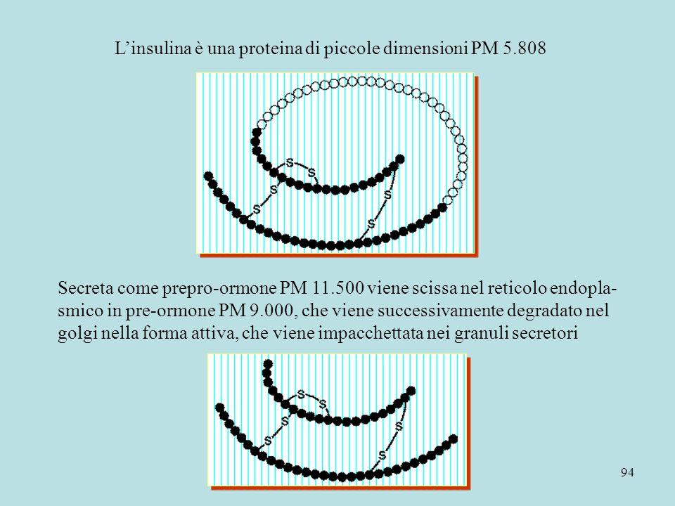 94 L'insulina è una proteina di piccole dimensioni PM 5.808 Secreta come prepro-ormone PM 11.500 viene scissa nel reticolo endopla- smico in pre-ormon