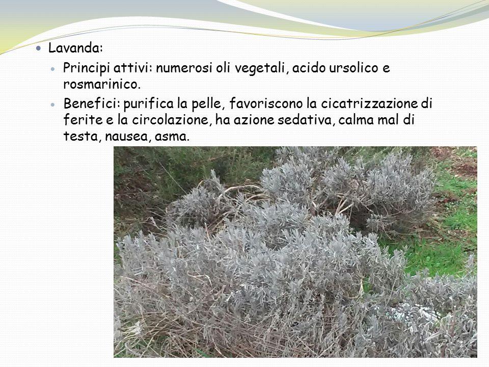 Lavanda: Principi attivi: numerosi oli vegetali, acido ursolico e rosmarinico.