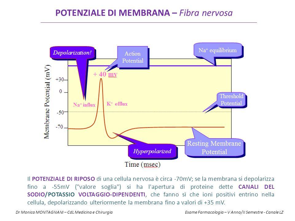 POTENZIALE DI MEMBRANA – Fibra nervosa Il POTENZIALE DI RIPOSO di una cellula nervosa è circa -70mV; se la membrana si depolarizza fino a -55mV (