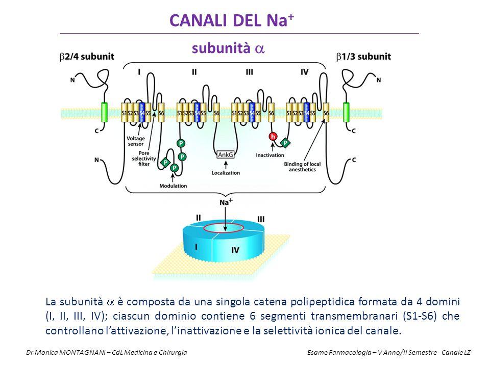 CANALI DEL Na + La subunità  è composta da una singola catena polipeptidica formata da 4 domini (I, II, III, IV); ciascun dominio contiene 6 segmenti