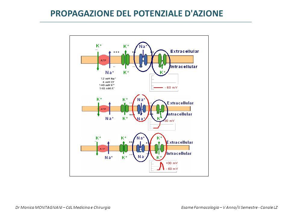 Infiamm: pH 6.5Normale: pH 7.4Anestetico locale pK a =7.9 100 U 75% R-NH + 25% R-N pH intracell: 7.0 10% R-N 90% R-NH + 96% R-NH + 4% R-N 75 U 96 U4 U 2.5 U21.5 U 10% R-N 90% R-NH + 3.6 U0.4 U 25 U 4 U maggiore minore IONIZZAZIONE Dr Monica MONTAGNANI – CdL Medicina e Chirurgia Esame Farmacologia – V Anno/II Semestre - Canale LZ
