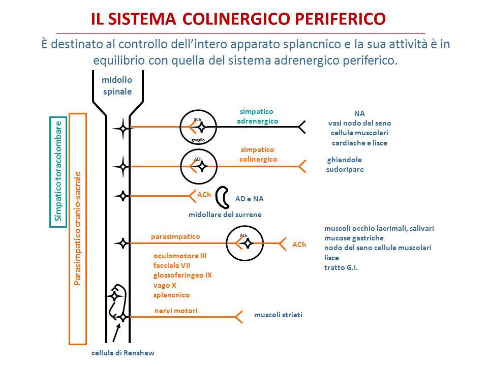 Corteccia frontale Corteccia parietale Nucleo mediale del setto Nucleo basale Ippocampo NUCLEI COLINERGICI NEL SNC Nuclei colinergici del bulbo mesencefalo Nucleo caudato I neuroni colinergici del cervello anteriore hanno funzioni importanti nei processi cognitivi, i nuclei colinergici del ponte e del mesencefalo regolano il ciclo sonno-veglia, gli interneuroni del nucleo caudato e putamen regolano il movimento e la memoria.