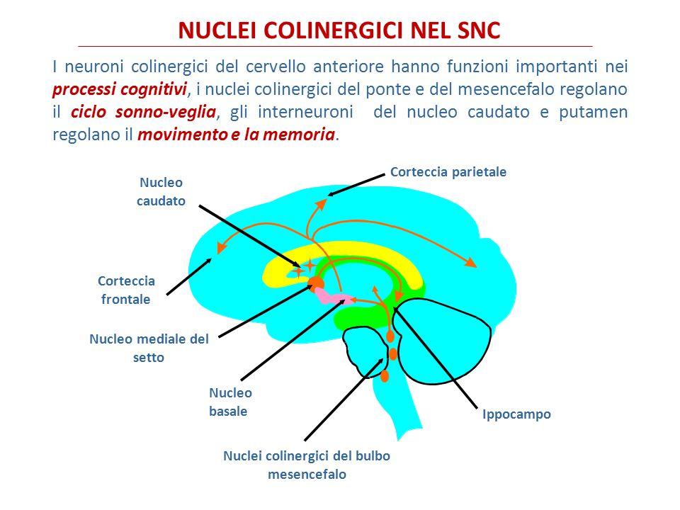 LA SINAPSI COLINERGICA ACh = acetilcolina; AChE = acetilcolinesterasi; BuChE = butirilcolinesterasi; ChAT = colina acetiltransferasi; CoA = coenzima A.