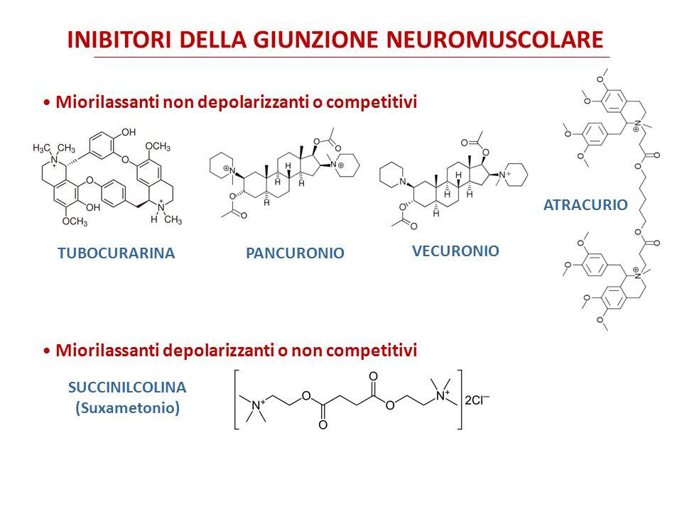 LA GIUNZIONE NEUROMUSCOLARE Nella giunzione neuromuscolare (o placca motrice) il rilascio pre-sinaptico di aceticolina attiva recettori nicotinici di tipo N M.
