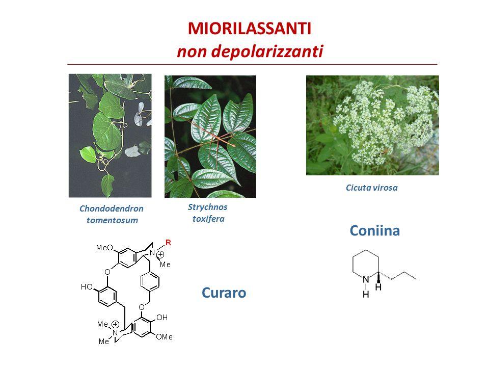 I miorilassanti non depolarizzanti (o competitivi) determinano l'occupazione del sito recettoriale di legame rendendolo indisponibile per l'acetilcolina.