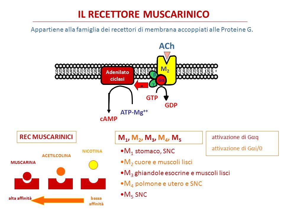 IL RECETTORE NICOTINICO Appartiene alla famiglia dei recettori di membrana accoppiati a canali ionici N N SNC, midollare del surrene, gangli autonomi N M giunzione neuromuscolare Ingresso di Na + e/o Ca ++ Ingresso di Na + MUSCARINA ACETILCOLINA NICOTINA alta affinità bassa affinità REC NICOTINICI NN, NMNN, NM ACh