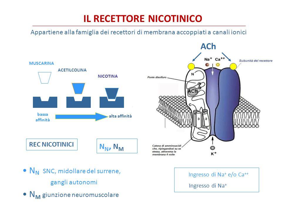 FARMACO Specificità recettorialeIdrolisi AChEUso clinico MuscarinicoNicotinico ACETICOLINA+++ nessuno CARBACOLO+++++- nessuno METACOLINA++++++ Vasodilatatore nelle vasculopatie periferiche BETANECOLO+++-- Ipotonia vescicale e gastrointest MUSCARINA+++-- nessuno PILOCARPINA++-- Miotico, glaucoma OXOTREMORINA++-- nessuno AGONISTI DIRETTI DEI RECETTORI MUSCARINICI Accanto alla acetilcolina, caratterizzata da brevissima emivita, anche altri agonisti muscarinici con emivita maggiore hanno un impiego limitato per la scarsa selettività nei confronti dei sottotipi di recettore.
