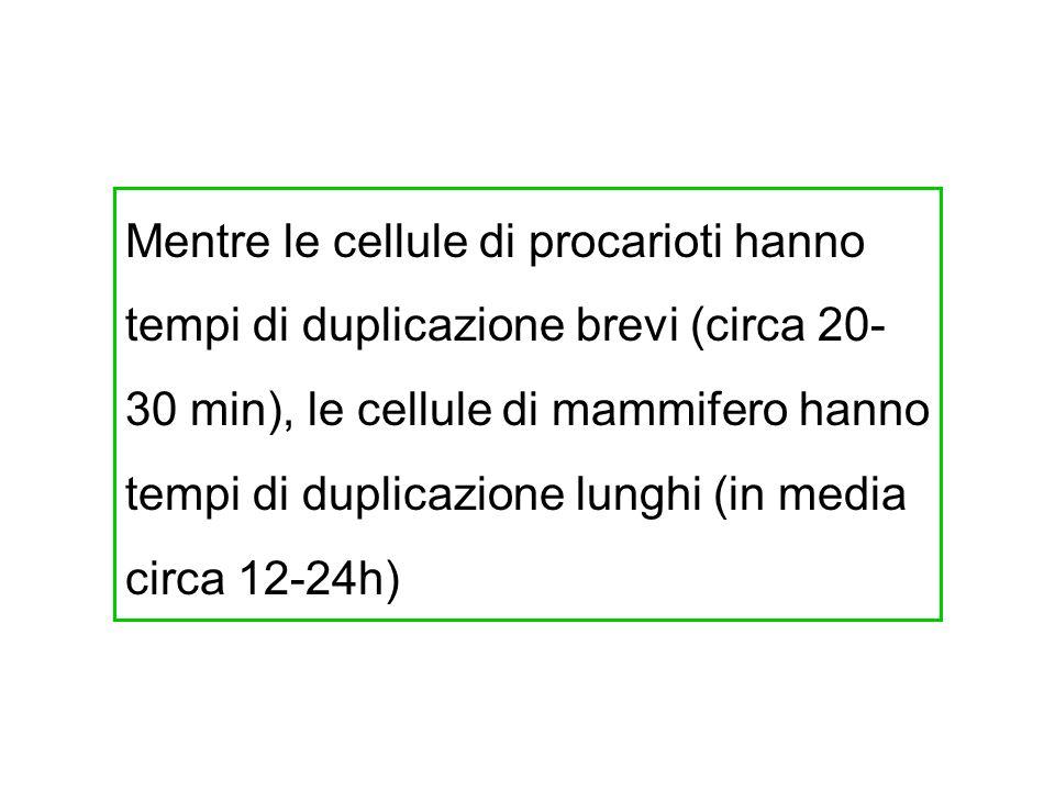 Mentre le cellule di procarioti hanno tempi di duplicazione brevi (circa 20- 30 min), le cellule di mammifero hanno tempi di duplicazione lunghi (in m