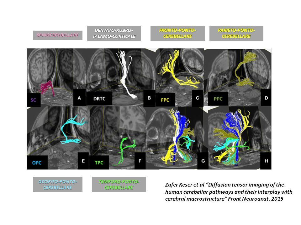 SPINOCEREBELLARE DENTATO-RUBRO- TALAMO-CORTICALE FRONTO-PONTO- CEREBELLARE PARIETO-PONTO- CEREBELLARE OCCIPITO-PONTO- CEREBELLARE TEMPORO-PONTO- CEREBELLARE Zafer Keser et al Diffusion tensor imaging of the human cerebellar pathways and their interplay with cerebral macrostructure Front Neuroanat.