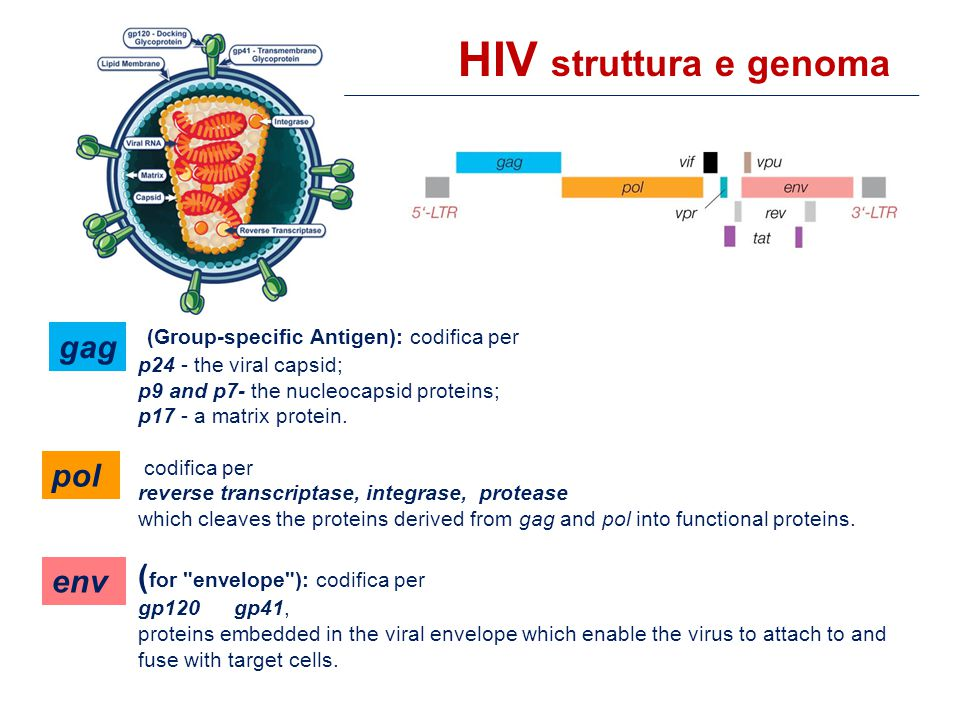 (Group-specific Antigen): codifica per p24 - the viral capsid; p9 and p7- the nucleocapsid proteins; p17 - a matrix protein.