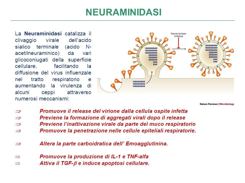 NEURAMINIDASI  Promuove il release del virione dalla cellula ospite infetta  Previene la formazione di aggregati virali dopo il release  Previene l'inattivazione virale da parte del muco respiratorio  Promuove la penetrazione nelle cellule epiteliali respiratorie.