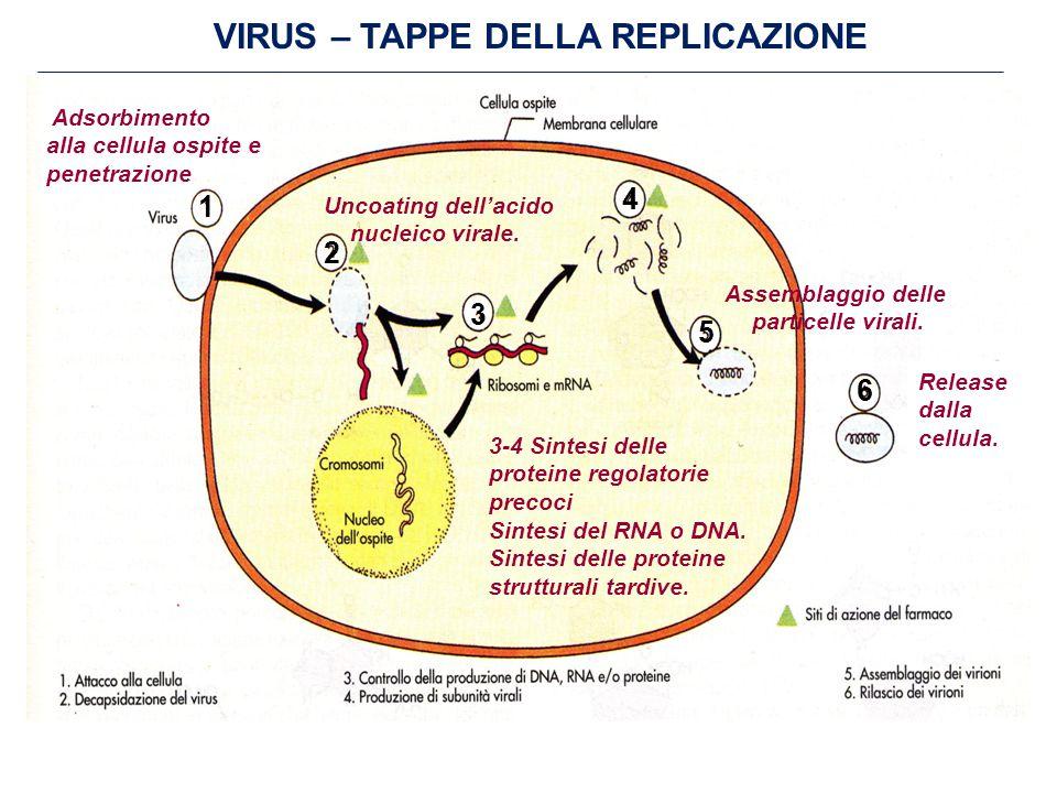 VIRUS – TAPPE DELLA REPLICAZIONE Adsorbimento alla cellula ospite e penetrazione Uncoating dell'acido nucleico virale.
