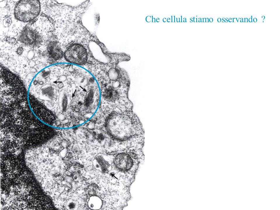 Che cellula stiamo osservando ?