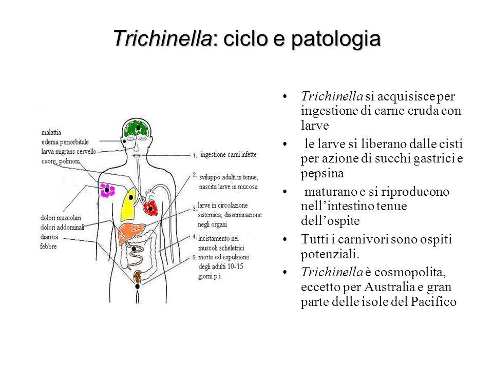 Trichinella: ciclo e patologia Trichinella si acquisisce per ingestione di carne cruda con larve le larve si liberano dalle cisti per azione di succhi