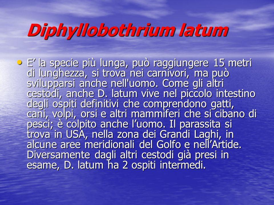 Diphyllobothrium latum Diphyllobothrium latum E' la specie più lunga, può raggiungere 15 metri di lunghezza, si trova nei carnivori, ma può sviluppars