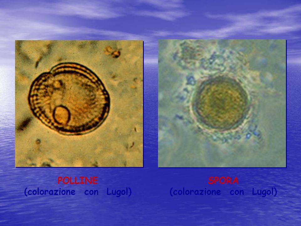 POLLINE (colorazione con Lugol) SPORA (colorazione con Lugol)