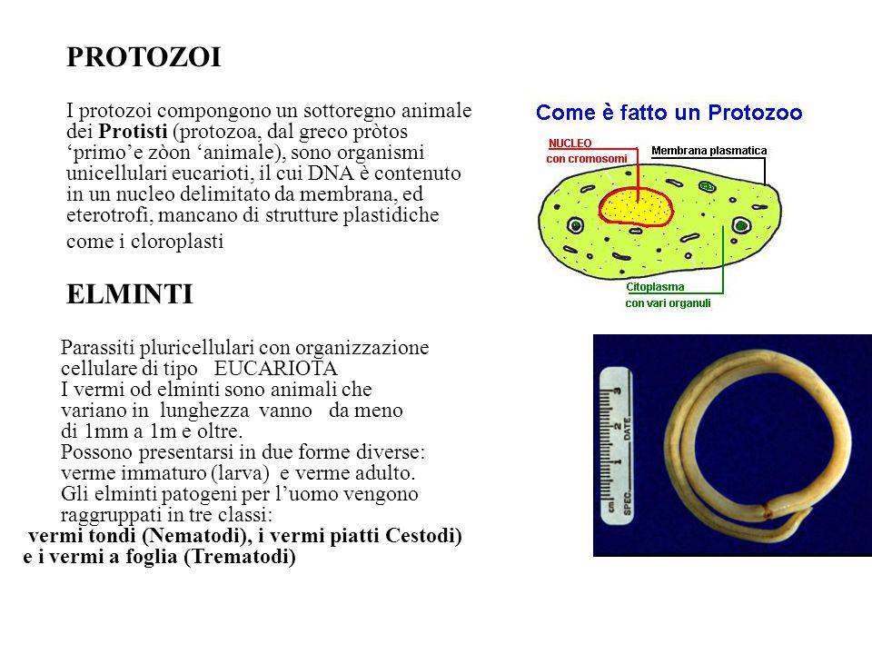 PROTOZOI I protozoi compongono un sottoregno animale dei Protisti (protozoa, dal greco pròtos 'primo'e zòon 'animale), sono organismi unicellulari euc