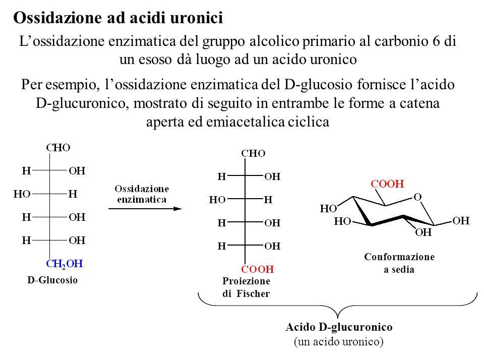 L'ossidazione enzimatica del gruppo alcolico primario al carbonio 6 di un esoso dà luogo ad un acido uronico Per esempio, l'ossidazione enzimatica del